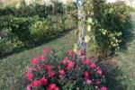 roses-at-vineyard